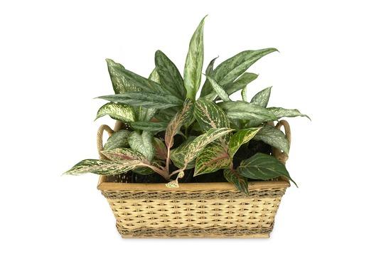 Plantas tóxicas para perros - Dieffenbachia
