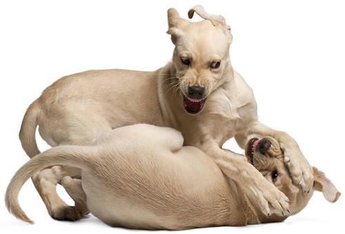 Cachorros de labrador jugando
